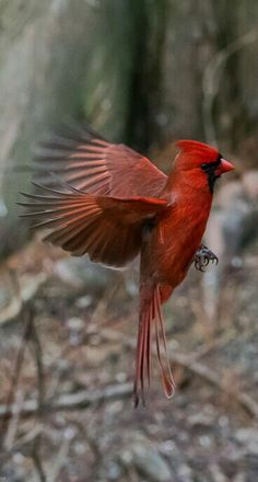 Northern Cardinal with beautiful wings. - title Caught - photographer Fred Roe