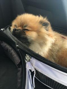 Pomeranian puppy sleeping