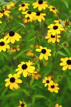 Golden black-eyed Susan is a summer staple for sunny borders. 'Goldsturm' is the most commonly grown variety. It spreads quickly, but not invasively, to fill a planting bed with long-lasting color. Name: Rudbeckia 'Goldstrum' Zones: Clay Soil Plants, Planting In Clay, Planting Flowers, Flower Gardening, Best Perennials, Flowers Perennials, Garden Shrubs, Garden Plants, Perennial Geranium