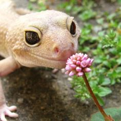 Gecko smelling a flower Leopard Gecko Cute, Cute Gecko, Lepord Gecko, Baby Lizards, Small Lizards, Reptiles Et Amphibiens, Cute Reptiles, Funny Lizards, Baby Animals