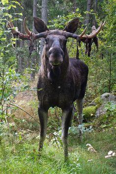 Elk Park, Hagens camping, Vrigstad, Småland, Sweden. http://www.hagenscamping.se/sv/vrigstad-aelgpark-/aelgparken.html