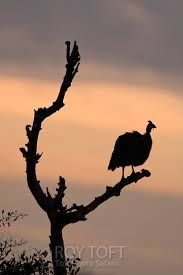 guineafowl silhouette - Google Search