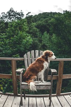 A cute pup in an Adirondack chair. I think it's a kooikerhondje? What do you think?