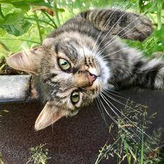 So Cute !! For lots of cute apparel and accessories visit CuteFTW.com Funny Cute Cats, Cute Cats And Dogs, Cute Funny Animals, I Love Cats, Cats And Kittens, Crazy Cat Lady, Crazy Cats, Tier Fotos, Beautiful Cats