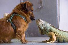 """Guten Tag! - A dachshund named 'Rambo' appears a bit cautious at the advance of a green iguana named 'Otto' as they meet at the zoo in Regensburg, Germany on April 4."" ~MSN"
