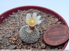 Blossfeldia liliputana / 20 seeds (Blossfeldia fechserii)