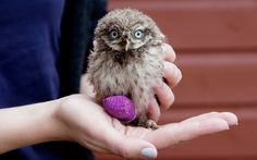 This little baby owl was found with an injured beak and foot along with two of its siblings after a tree they were nesting in was cut down in the grounds of Oxford University.