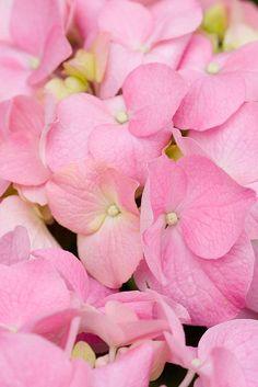 pink petals Pink Stuff, Pink Petals, Rose, Flowers, Plants, Rose Petals, Pink, Plant, Roses