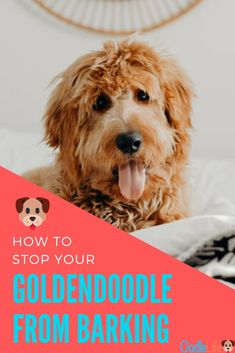 Goldendoodle barking expresses a bunch of different emotions. There can be multiple barking triggers. The type of bark will vary depending on what the Puppy. Goldendoodle Training, Goldendoodle Grooming, Mini Goldendoodle, Goldendoodles, Dog Breeds That Dont Shed, Big Dog Breeds, Rare Dog Breeds, Pet Care Tips, Pet Tips