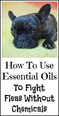 How to use essential oils to fight fleas without potentially toxic chemicals.
