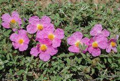 Greek Flowers, Rock Rose, Drought Tolerant Landscape, Ways To Be Happier, Forest Mountain, Tree Forest, Flowering Trees, Beauty Secrets, Fascinator
