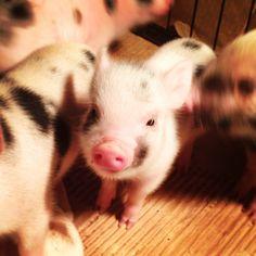 Wow!! The cuteness! Kune Kune mini pig