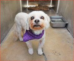 Angels for Animals Network · **** OWNER SURRENDER**** BENJEE Pet ID: A1267554 Sex: S Age: 10 Year Color: WHITE Breed: LHASA APSO Kennel: 354, 1/21 OC Animal Care https://www.facebook.com/AngelsForAnimals.AFA/photos/a.10151287465740223.802367.315830505222/10155113965520223/?type=3&theater