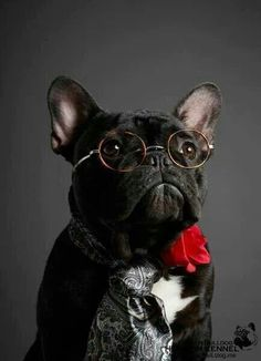 A very posh Frenchie indeed