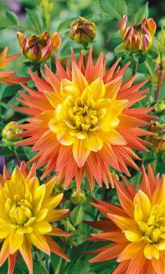 ~~Corona Karma Dahlia | Blooming Bulb~~