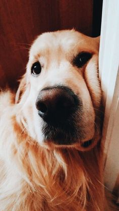 We Love Golden Retrievers! We Love Golden Retrievers! Cute Funny Animals, Cute Baby Animals, Funny Dogs, Animals And Pets, Farm Animals, Cute Dogs And Puppies, I Love Dogs, Doggies, Jolie Photo