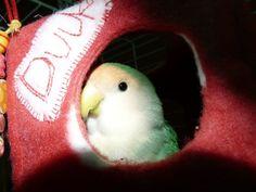 Duuk in zijn hutje van Drokkies.nl (mijn webwinkeltje) Parrot, Bird, Parrot Bird, Birds, Parrots, Birdwatching