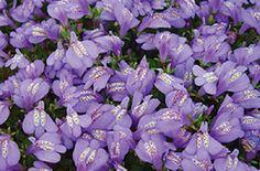 Mazus reptans Purple