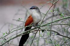 White-browed Coucal (Centropus superciliosus) Ian n. White