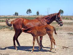 Yomud / Turkoman horse