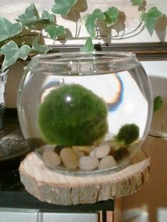 How to Propagate Marimo Algae Balls.