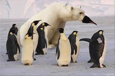 Polar Bears and pengoins