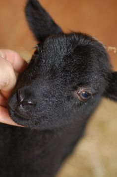 Shetland Lamb, via Flickr.