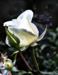a rose is a rose hdr Beautiful Rose Flowers, White Roses, Hdr, Bloom, Plants, Beauty, Backgrounds, Plant, Beauty Illustration