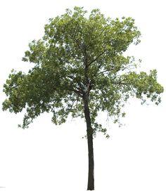 New Ideas For Tree Texture Photoshop Plan Palm Tree Outline, Tree Psd, Photoshop Rendering, Photoshop Elements, Trees For Front Yard, Tree Photoshop, Garden Illustration, Tree Silhouette, Garden Trees