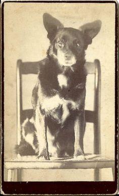 RARE UNUSUAL ANTIQUE 1880'S SHEPHERD DOG IMAGE CDV SIZED CABINET CARD PHOTO