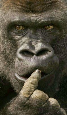 Primates, Mammals, Animals And Pets, Funny Animals, Cute Animals, Wild Animals, Beautiful Creatures, Animals Beautiful, Regard Animal