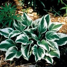 """Fair Maiden"" hosta"