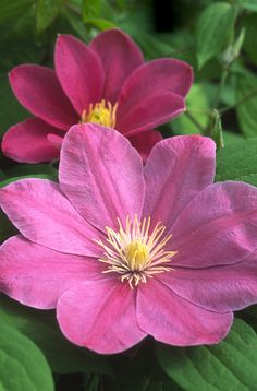 Abilene Clematis - group 3, pink flowers, as they mature, the central deep pink stripe becomes more prominent. The combo of deep pink flowers and the more mature paler pink flowers is very appealing. Sun, part shade, Blooms Early & Late Summer, h 8-10'.