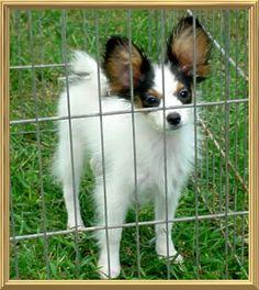 75 Best Papillon Puppies For Sale Images Papillon Puppies For Sale