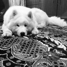 #North #puppy #samoyed #instadog #instapuppy #самоед #white #black #wolf