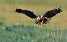 Marsh Harrier hunting by tassossakoulis