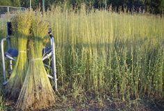 Linen flax, an endangered natural fiber Flax Weaving, Flax Fiber, Textiles Techniques, Fibre Material, Linens And Lace, Consumerism, How To Dye Fabric, Garden Inspiration, Organic Gardening