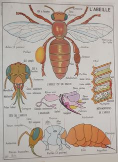 The Bee / Fish - Vintage - Anatomy - Large stunning French School Poster - double-sided - I Love Bees, French Phrases, French School, School Posters, Animal Posters, Science, Nature Study, French Lessons, Bee Keeping