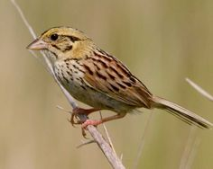 henslow's sparrow - Google Search