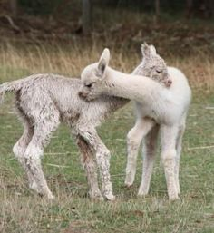 Two young alpacas playing together.