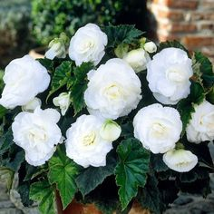 50+ Begonia Double White Flower Seeds