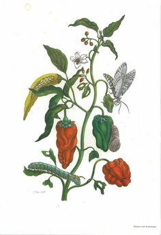 Peppers and Lepidoptera Metamorphosis. Illustration (vintage print) by Maria Sibylla Merian (1647-1717) from her book Metamorphosis insectorum