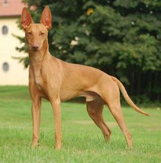 Unique Dog Breeds, Rare Dog Breeds, Popular Dog Breeds, Rabbit Hunting, Hunting Dogs, Group Of Dogs, Dog Groups, Dog Breeds Pictures, Ibizan Hound