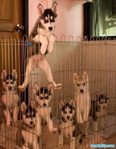 Husky puppies climbing