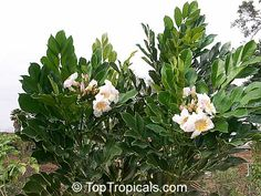 Radermachera Kunming ( Dwarf Tree Jasmine, Peep Thong) - RARE PLANT - sun/ps, 3-6' (in container; size reports out of container range from 6'-9' to 10-20' ! so all over map), blooms in summer and sporadically thru year, z10-11, can die below 40 so protect! Fragrant. dark shiny leaves w/ white flowers w/ yellow throat. May get white fly. $10 for 3 gallon at D.Ingram.