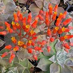 Dudleya cymosa -- ALMOST hardy for me. Wish it was... Love those flowers and foliage.