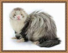angora ferret. long hair