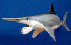 Tiburón helicoprion (Extinto)