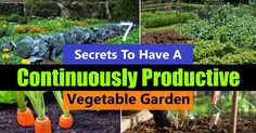 Tomato Growing Companion 7 Secrets To Have A Continuously Productive Vegetable Garden - These seed starting hacks and DIYs can save your money and make growing plants from seeds a lot easier. Check out! Growing Plants, Growing Vegetables, Fresh Vegetables, Growing Tomatoes, Veggies, Balcony Garden, Garden Pots, Garden Ideas, Belive In