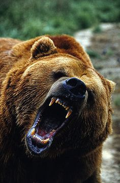 """GRIZZLY BEAR"" by Chuck Wickham."
